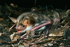 Greater mouse-eared bat (Myotis myotis) searching for insects on the ground, UK, controlled conditions  -  Stephen Dalton
