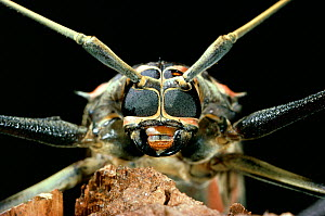 Harlequin beetle (Acrocinus longimanus) close up, portrait - Stephen Dalton