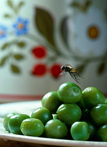 Common house fly (Musca domestica) flying from fruit bowl, UK - Stephen Dalton