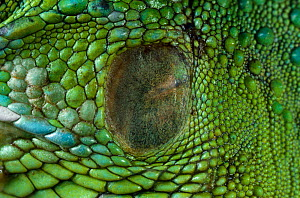Close up of ear of Common green iguana (Iguana iguana) showing tympanic membrane  -  Stephen Dalton