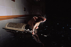 Brown rat (Rattus norvegicus) and cheese grater, UK, controlled conditions - Stephen Dalton