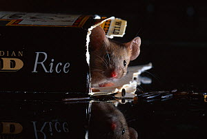 House mouse (Mus musculus) in biscuit packet, UK, controlled conditions - Stephen Dalton