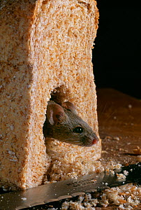 House mouse (Mus musculus) emerging from feeding inside a loaf of brown bread, UK, controlled conditions - Stephen Dalton