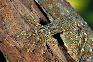 Close up of foot of Tokay gecko (Gekko gekko) controlled conditions - Stephen Dalton