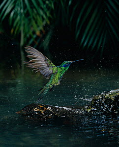 Green violetear hummingbird (Colibri thalassinus) flying up from bathing in water, controlled conditions  -  Stephen Dalton