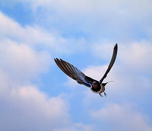 Barn swallow (Hirundo rustica) in flight, UK - Stephen Dalton