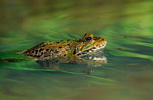 Marsh frog (Rana ridibunda) swimming, Europe  -  Stephen Dalton