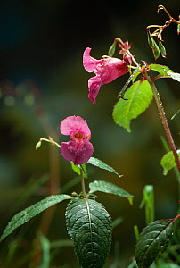 Indian / Touch-me-not balsam  (Impatiens balsamina) flowers, UK  -  Stephen Dalton