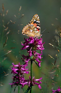 Painted lady butterfly (Vanessa cardui) resting on Bugle flower (Ajuga sp) with wings closed, UK  -  Stephen Dalton