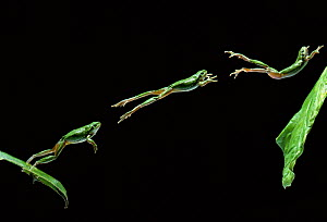 Common tree frog (Hyla arborea) jumping, multiflash sequence of three images - Stephen Dalton