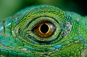 Close up of eye of Common green iguana (Iguana iguana)  -  Stephen Dalton