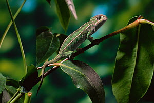 Carpet chameleon (Furcifer lateralis) camouflaged against vegetation, controlled conditions - Stephen Dalton