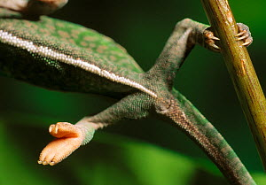 Close up of feet of Carpet chameleon (Furcifer lateralis) balancing on a narrow branch, controlled conditions - Stephen Dalton