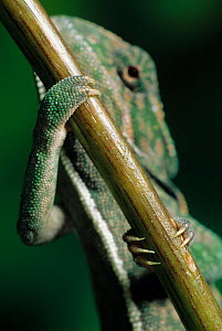 Carpet chameleon (Furcifer lateralis) climbing up narrow branch, controlled conditions - Stephen Dalton
