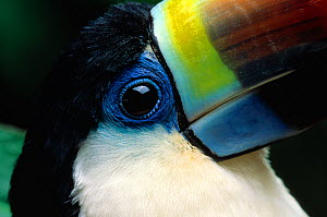 Close up of beak of Red billed toucan (Ramphastos tucanus) controlled conditions  -  Stephen Dalton
