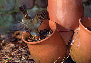 Robin (Erithacus rubecula) extracting grub from earth in a flower pot, UK  -  Stephen Dalton