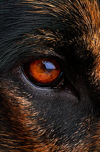 Close up of eye of Domestic dog, Alsatian or German shepherd breed, UK  -  Stephen Dalton