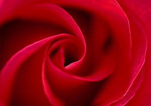 Red rose (Rosa sp), petal whorl, flower - Stephen Dalton