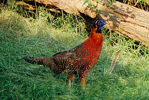 Temminck's tragopan (Tragopan temminckii) controlled conditions - Stephen Dalton