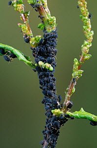 Blackfly / Aphids (Aphis sp) wingless forms on dock stem, UK  -  Stephen Dalton