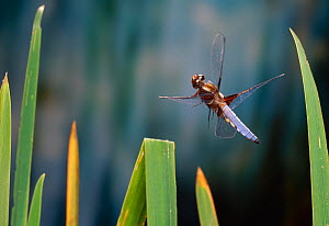 Broad bodied chaser dragonfly (Libellula depressa) just after take off, UK - Stephen Dalton