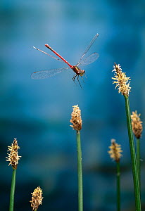 Large red damselfly (Pyrrhosoma nymphula) in flight over Plantain flowers, UK - Stephen Dalton