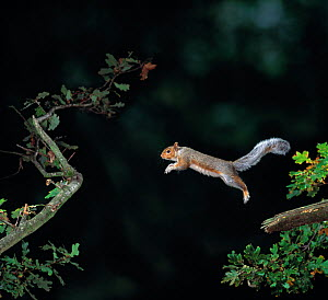 Grey squirrel (Sciurus carolinensis) leaping from branch, controlled conditions, UK - Stephen Dalton