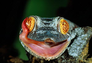 Henkel's leaf tailed gecko (Uroplatus henkeli) licking its eye with its tongue, controlled conditions - Stephen Dalton
