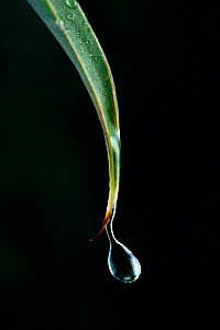 Water dripping from tip of leaf, UK  -  Stephen Dalton