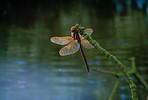 Brown hawker dragonfly (Aeshna grandis) with morning dew, clinging to lichen-covered twig, UK - Stephen Dalton