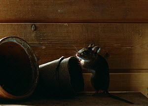 Yellow-necked mouse (Apodemus flavicollis) in garden shed with flowerpots, controlled conditions, UK  -  Stephen Dalton