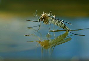 Mosquito (Culicidae) newly emerged adult on water's surface  -  Stephen Dalton