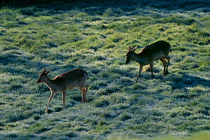 Fallow deer (Dama dama) following deer track across field at dawn, Sussex, UK - Stephen Dalton