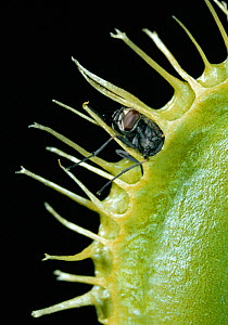Venus flytrap (Dionaea muscipula) with fly trapped  -  Stephen Dalton