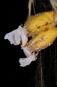 Silkworm moths (Bombyx mori) mating on a coccoon, controlled conditions - Stephen Dalton
