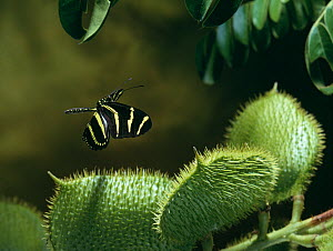 Zebra longwing butterfly (Heliconius charithonia) in flight, controlled conditions  -  Stephen Dalton