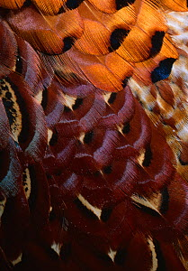 Close up of feathers of the Cock pheasant (Phasianus colchicus) UK  -  Stephen Dalton