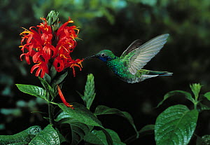 Sparkling violetear hummingbird (Colibri coruscans) hovering at flower, feeding, controlled conditions  -  Stephen Dalton