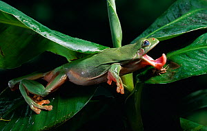 Green tree frog (Litoria caerulea) catching insect prey, controlled conditions  -  Stephen Dalton