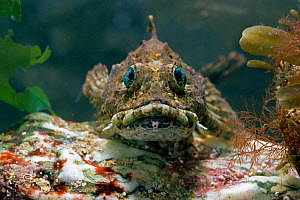 Sea scorpion fish (Taurulus bubalis) controlled conditions  -  Stephen Dalton