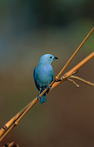 Blue-grey tanager (Thraupis episcopus) perched, Tobago, West Indies, Caribbean, March  -  Stephen Dalton