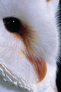 Barn owl (Tyto alba) close up of eye, UK, controlled conditions  -  Stephen Dalton