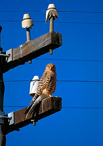 Greater kestrel (Falco rupicoloides) perched on telegraph pole, South Africa - Stephen Dalton