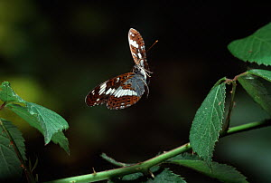 White admiral butterfly (Limenitis camilla) in flight, controlled conditions - Stephen Dalton
