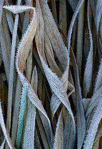 Frost on dead reeds, UK - Stephen Dalton