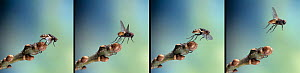 Common housefly (Musca domestica) take off sequence, four images  -  Stephen Dalton