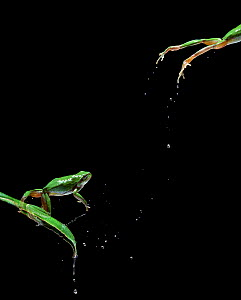 Common european tree frog (Hyla arborea) leaping, multiflash sequence of two images - Stephen Dalton