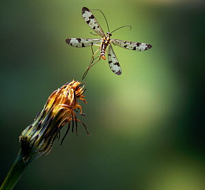 Common scorpionfly (Panorpa communis) taking off, UK, controlled conditions - Stephen Dalton