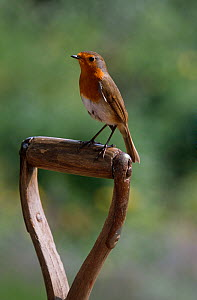 Robin (Erithecus rubecula) perched on spade handle, UK  -  Stephen Dalton
