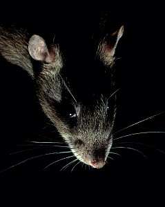 Brown rat (Rattus norvegicus) backlit, portrait, controlled conditions, UK - Stephen Dalton